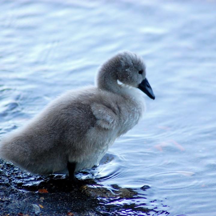 The swans lake, Bracciano