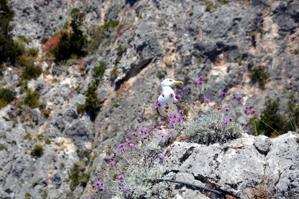 Capri, a seagull