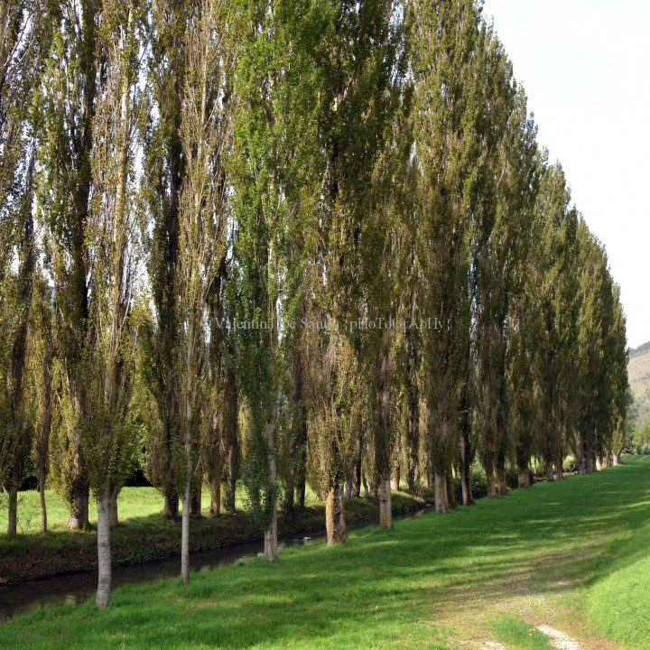 Poplar trees of Fiuminata