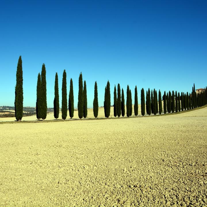 Cypresses of Tuscany