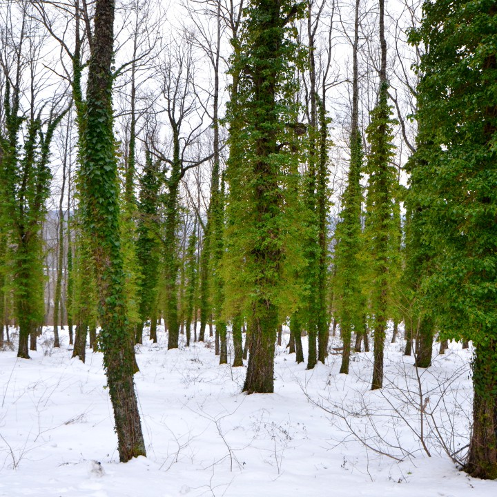 Green woods, green Vee