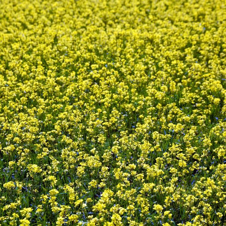 Blooming time in Castelluccio di Norcia