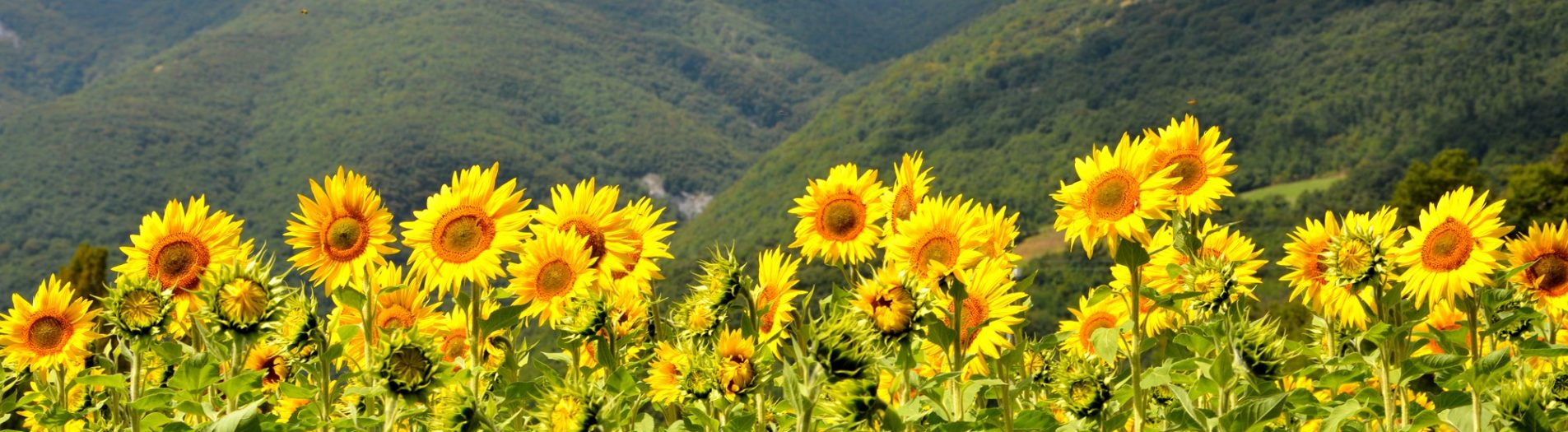 Among the sunflowers and to Castello